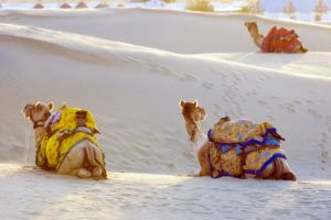 Group of camels on the Sam Sand Dune in Thar Desert, Jaisalmer, INDIA